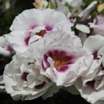 All About Roses Workshop at Godinton House & Gardens