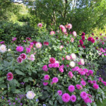 Dahlia Days at Pashley Manor Gardens – 5th to 15th September 2018